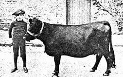 2: Dexter Cow