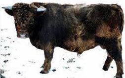 Bull: 7